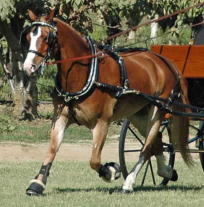 Hunt's Pony size Show Harness